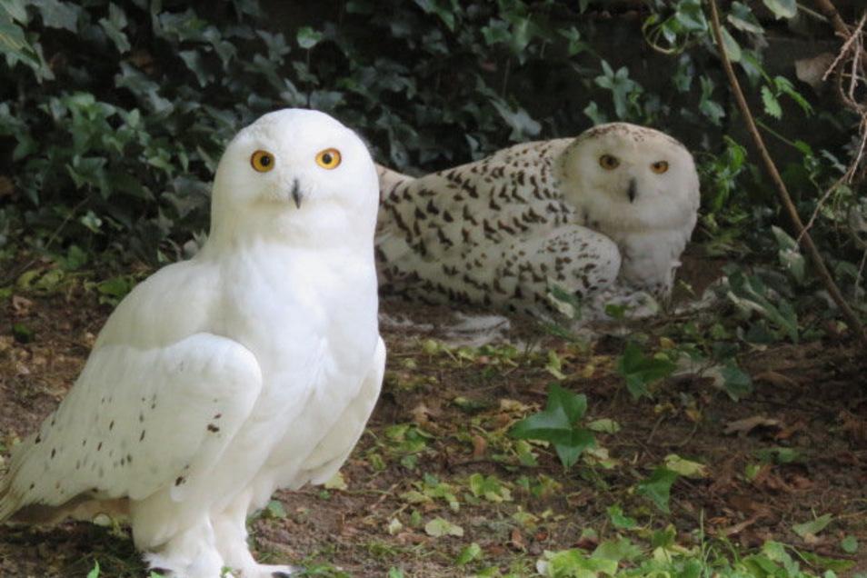 Schneeeulen zählen im Frühjahr 2020 zu den Attraktionen des Meißner Tierparks. Betreiber Heiko Drechsler sieht nach Hilfsangeboten wieder eine Zukunft für die Anlage.