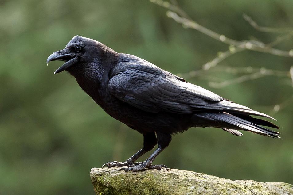 Brühten am Kleinen Stein wieder Kolkraben oder andere seltene und geschützte Vogelarten?