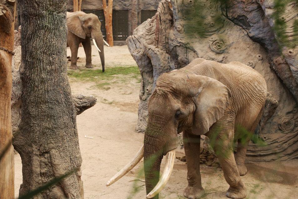 Die Kühe Mogli, Sawu und Drumbo und der Bulle Tonga haben durch die Erweiterung der Anlage deutlich mehr Platz, als es die Richtlinien für die Elefantenhaltung vorsehen.