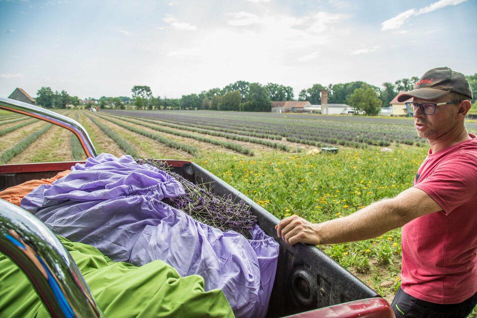 Die erste Lavendelernte hat Andreas Graf mit seiner Agrargenossenschaft See schon eingefahren. Im September könnte der zweite Schnitt folgen.