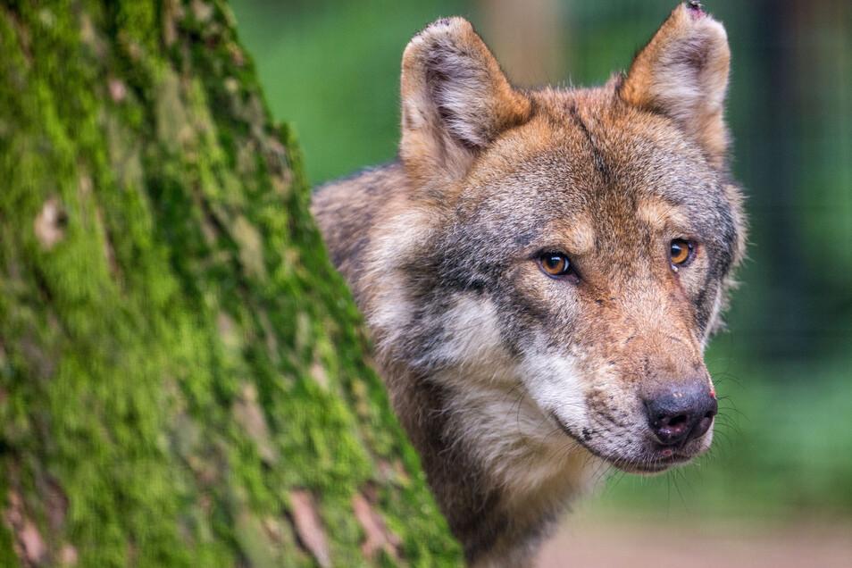Man bekommt Wölfe kaum zu Gesicht. Dieser hier lebt in einem Wildpark in Bayern.