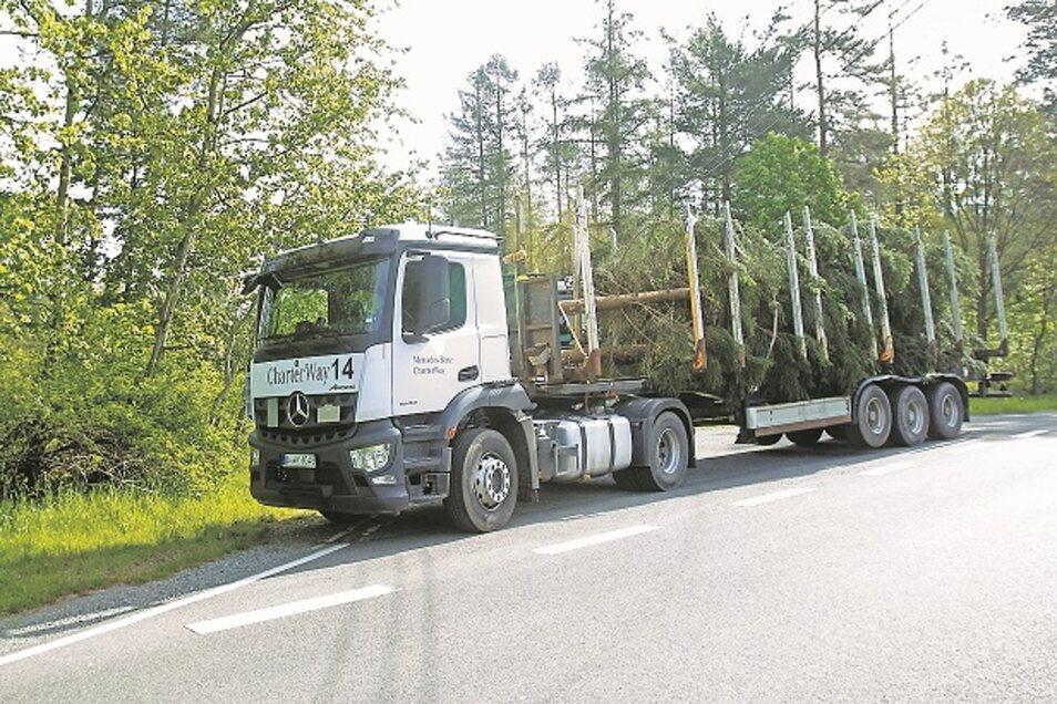 Per Tieflader wurden die Bäume am Mittwochvormittag von der Maschinenstation Königstein nach Dresden verfrachtet.