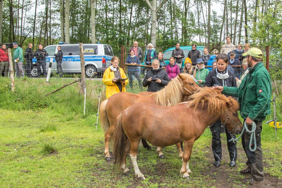 Das Veterinäramt des Landkreises versteigerte in Biehain Pferde. Sie stammen aus dem Besitz der Little Pony Ranch in Gebelzig.