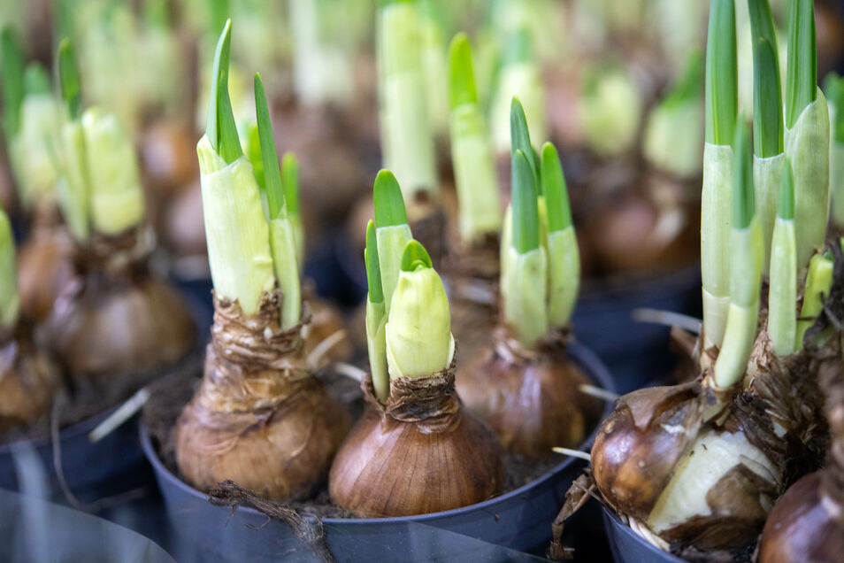 Pflanzen und Blumen aller Art sind am Sonnabend auf dem Frühlingsmarkt in Roßwein erhältlich.