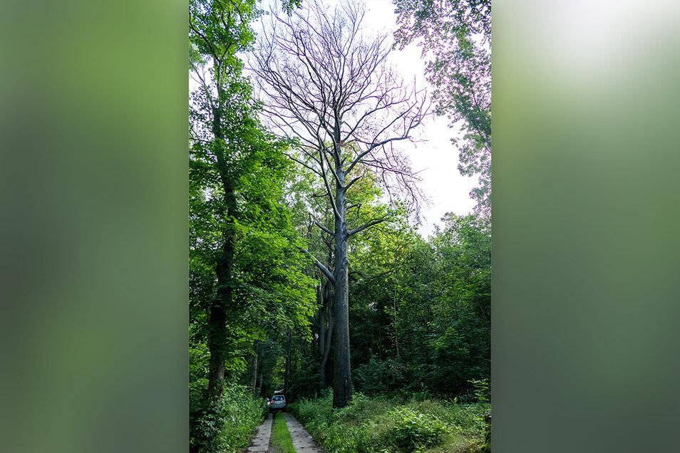 Diese rund 125 Jahre alte Buche ist bei der Schulung für Forstarbeiter am Mittwoch gefällt worden. Der Baum hatte nicht mehr ausgetrieben. Unmittelbar am Hauptweg war er eine Gefahr.