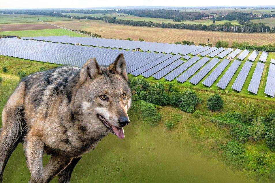 Der Wolf hat den Solarpark Glaubitz als Futterquelle für sich entdeckt. Dort weiden Schafe.