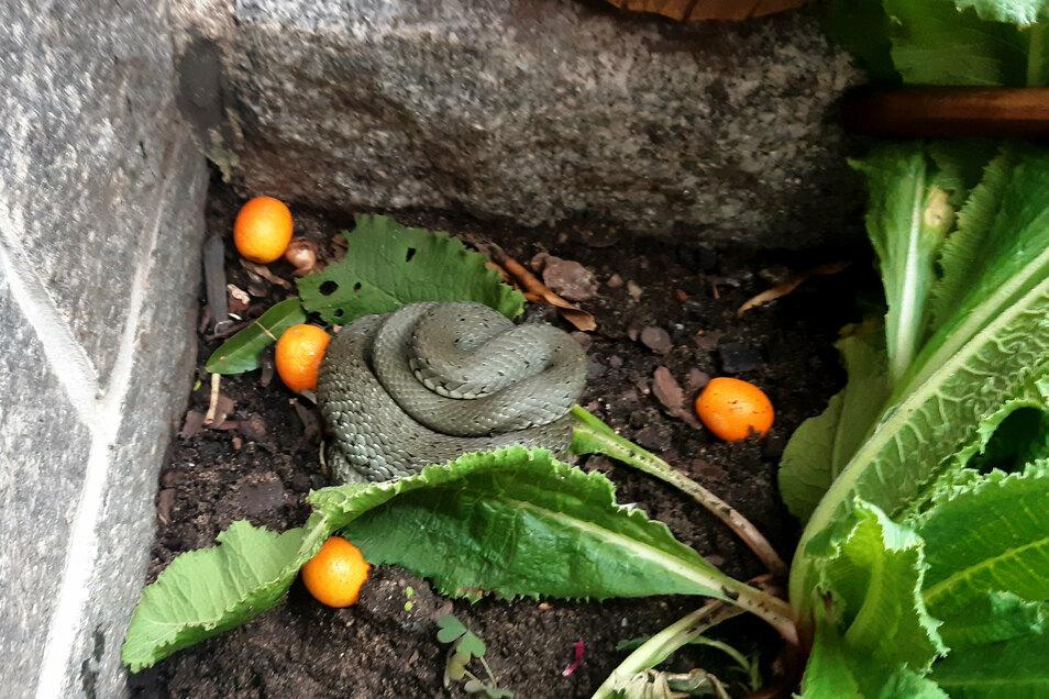 Diese Schlange entdeckten Bewohner am Großenhainer Weinbergsweg am Sonntag in ihrem Vorgarten. Zum Glück war es offenbar eine ungefährliche Ringelnatter.