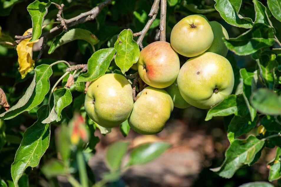 Das ist ein seltener Anblick im Blühgarten. Den Apfelbaum hat Zerge zum 50. Geburtstag geschenkt bekommen. Dazu noch einen Kirschbaum. Ansonsten baut er wenig Obst und Gemüse an. Ein paar Tomaten in einem kleinen Gewächshaus, Erd- und ein paar andere Beeren – das war's.