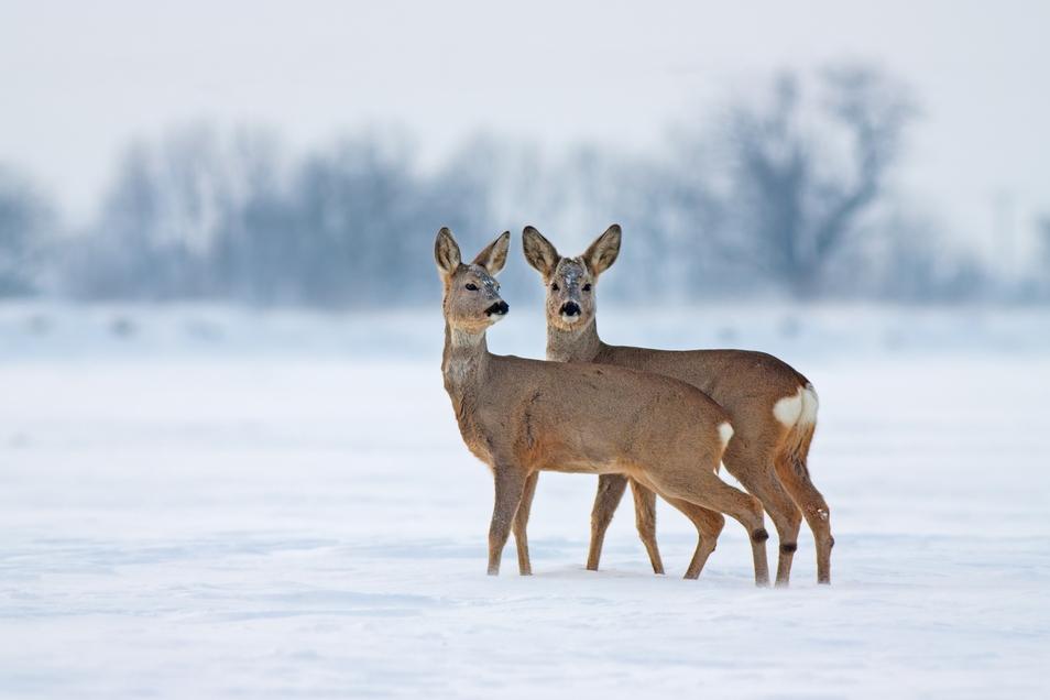 In unseren Breiten brauchen Wildtiere im Winter nur selten menschliche Hilfe.
