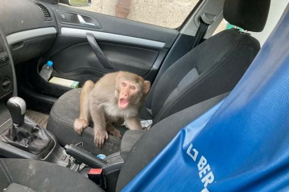 Ein Bananentrick hatte ihn überführt: Einer der beiden ausgebüxten Affen.