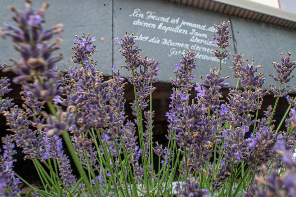 Der Lavendel steht gut dieses Jahr, ist aber schon weitgehend verblüht. Nach einem Rückschnitt kommt er aber noch einmal in seiner Blütenpracht zurück. Kleine Sprüche zieren den Beetrand.