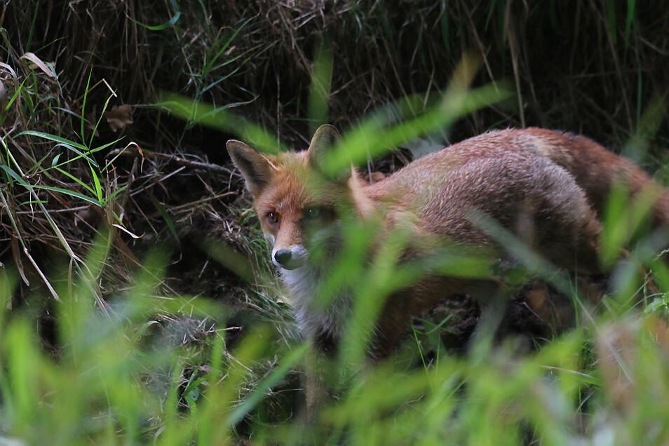 Zu den Motiven gehören längst nicht nur die vielbeschriebenen Wölfe. Auch ein Fuchs oder ...