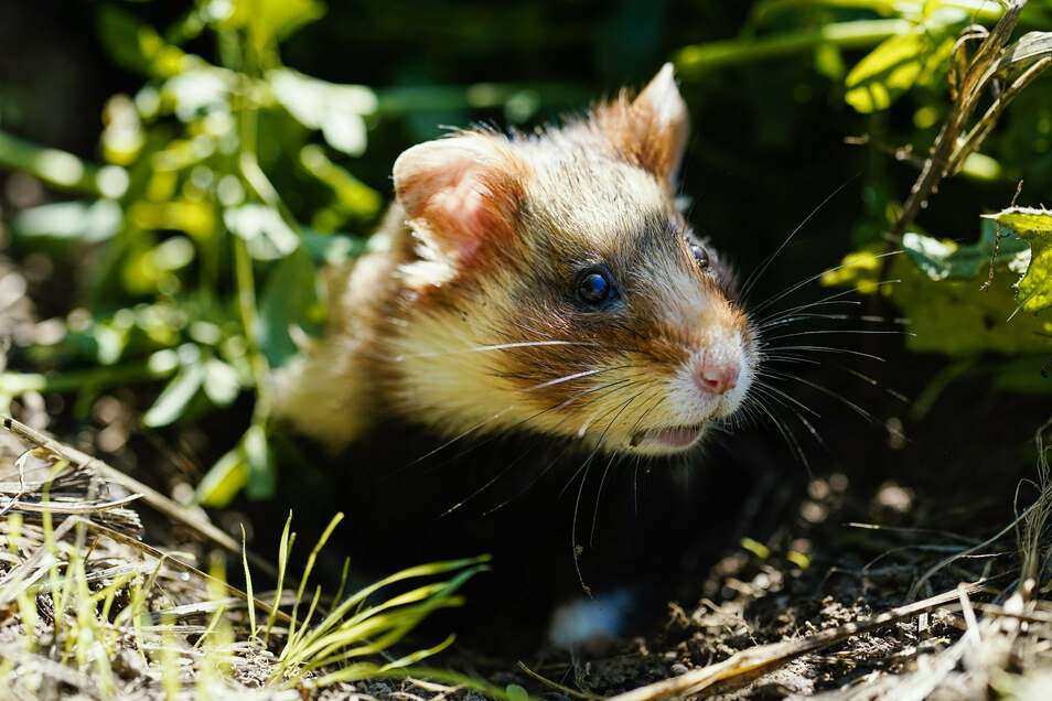 Das Mäusegift gefährdet auch Feldhamster