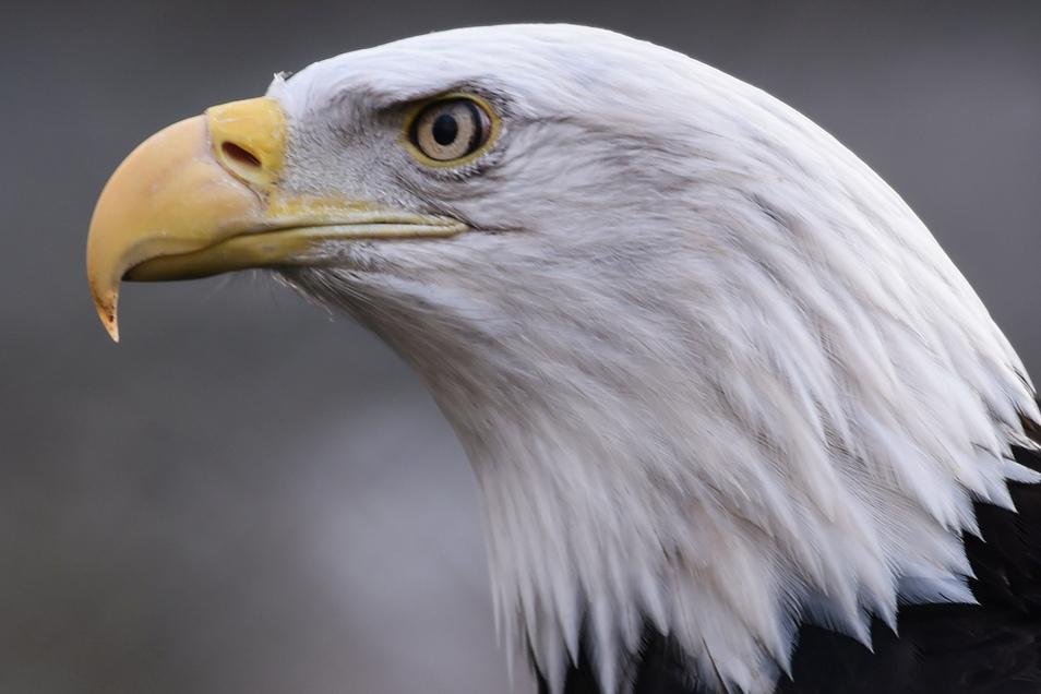 Weikopfseeadler gehören mit einer Flügelspannweite von über zwei Metern zu den größten Greifvögeln Nordamerikas.