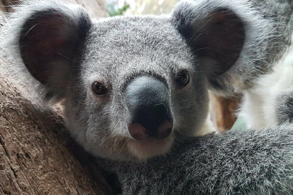 Das Koala-Jungtier Bouddi - hier an seinem ersten Geburtstag im Leipziger Zoo.
