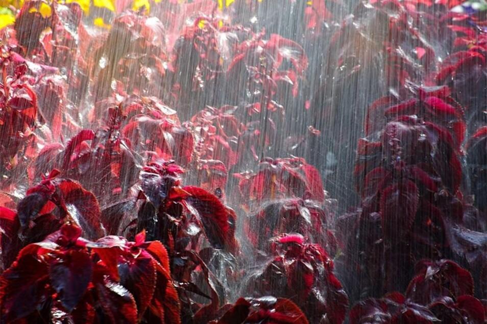 Kühles Nass: Zwölf große Beete und 30 Blumenkübel werden im Stadtgebiet bewässert. Täglich sind dazu 16000 Liter Wasser nötig. Das entspricht in etwa 114 großen Badewannen.