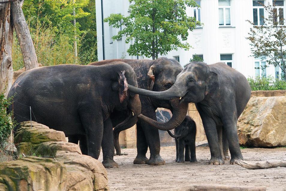 Bulle Voi Nam ließ sich nicht beirren und nutzte sofort die Gelegenheit, um die Berliner Kühe zu berüsseln.