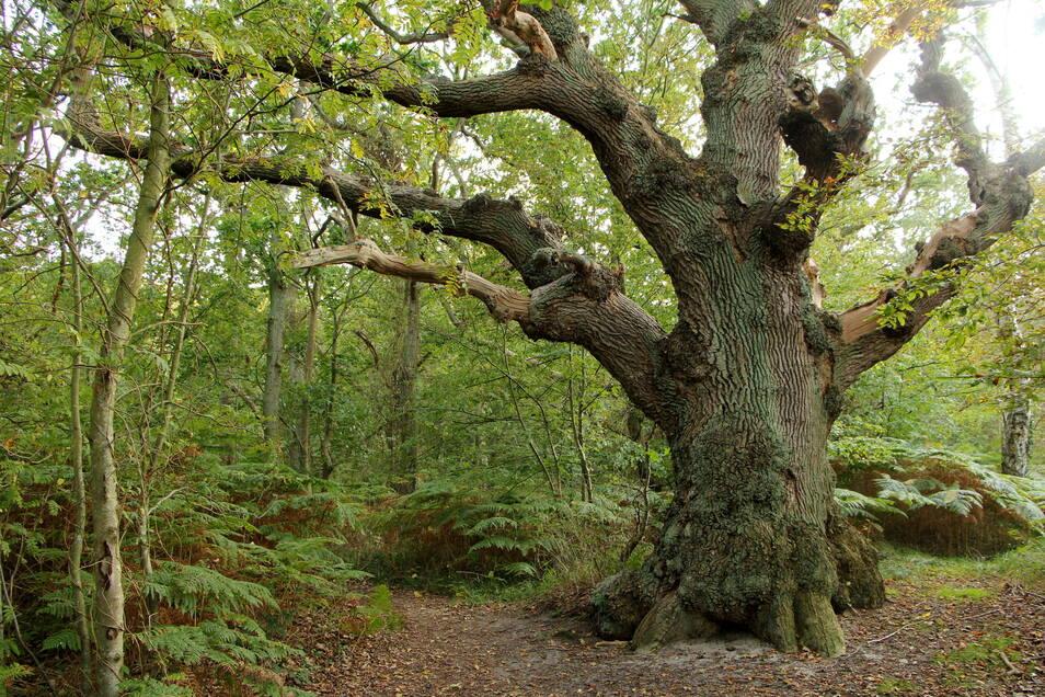 Alt wie ein Baum: Auf der Insel Vilm ist die Natur noch sich selbst überlassen.