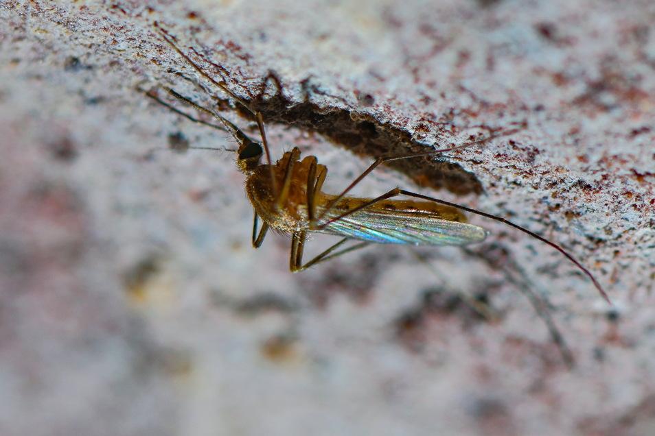 Eine Stechmücke der Art Culex pipiens Komplex ist an der Decke eines alten Eiskellers zu sehen. Stechmücken werden immer gefährlicher, sagen Forscher.