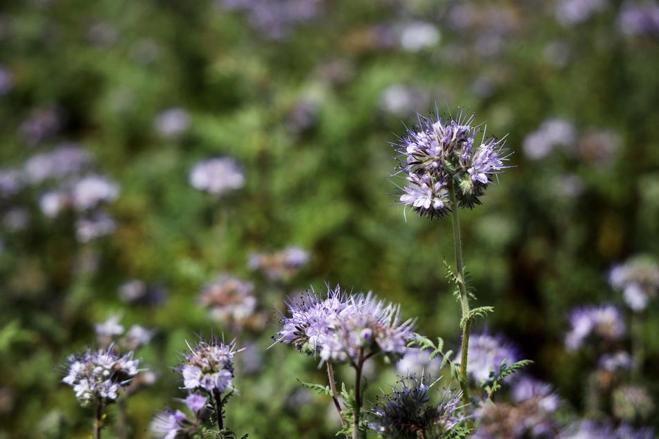 """Blick auf die Blühwiese am Riesapark im Juli 2020. So eine Fläche könnten sich auch die Merzdorfer an """"ihrer"""" Wiese vorstellen. Ganz billig ist das aber nicht."""