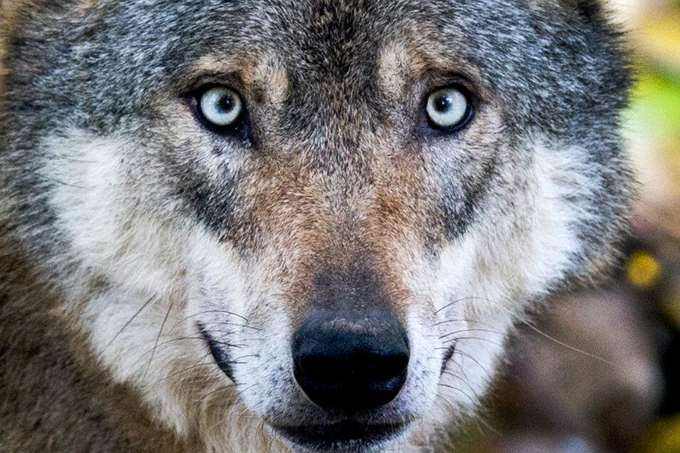 Ein Wolfsrudel hat sich in der Dresdner Heide angesiedelt. Was bedeutet das für Anwohner, Ausflügler und Wildtiere im Wald?