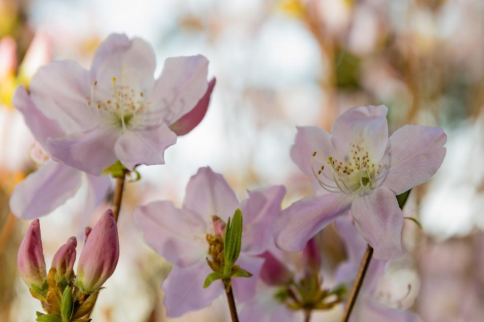 In der Nahaufnahme zeigt sich die filigrane Schönheit des Schlippenbach. Das Saatgut der wilden Azalee stammt aus Russland.