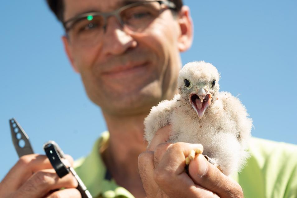 Mit beherztem Griff nimmt Dirk Hanke Turmfalkenjungen aus ihrem Nistkasten. Jedes Jahr beringt er ehrenamtlich die Jungvögel. Doch die Population in Dresden geht zurück.