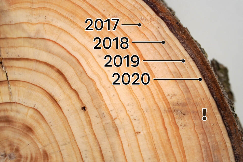 Die Dürre ist an den schmalen Baumringen dieser Fichte erkennbar. Lufthaltige Embolien (markiert) in den wasserführenden Schichten sind Folge der Trockenheit.