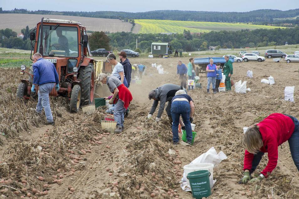 In Liebenau und Reinholdshain wird auch in diesem Jahr wieder zum Kartoffellesen eingeladen.