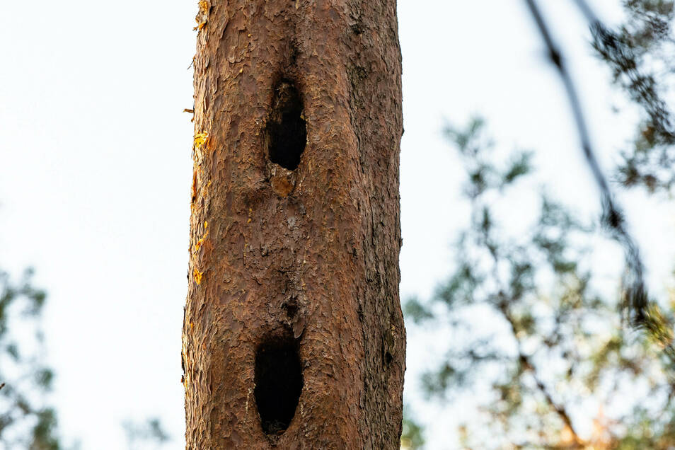 Optimale Ausnutzung von Wohnraum: Der Schwarzspecht hackt Höhle auf Höhle, als Nachmieter zieht der Große Abendsegler ein, eine Fledermaus.