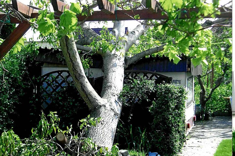 Dieser Nussbaum wurde 1976 zu Evelyn Uschners Jugendweihe gepflanzt. Der Tornado hat ihn entwurzelt.