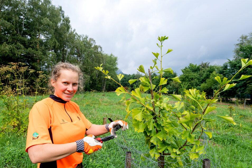 """Forstwirt-Lehrling Klara Meyer im neuen Arboretum in Gohrisch: Hier wächst nicht nur ein Ginko heran, sondern mehr als 30 """"Bäume des Jahres""""."""