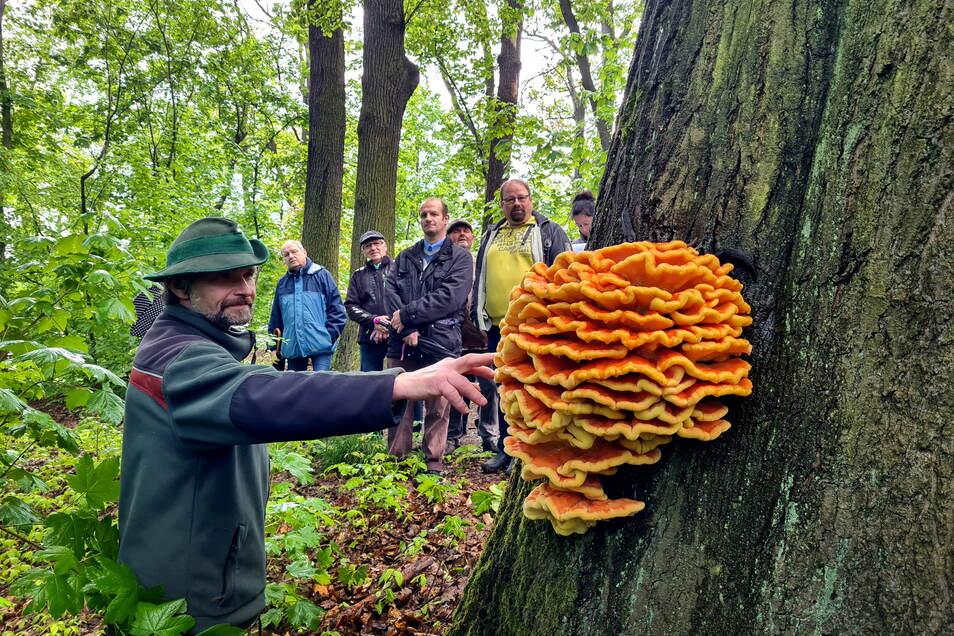 Optisch ein Hingucker, aber ein Zeichen, dass der Baum krank ist. Revierförster Dirk Tenzler zeigt einen Pilz, der an einer Roteiche auf dem Eichberg gewachsen ist.