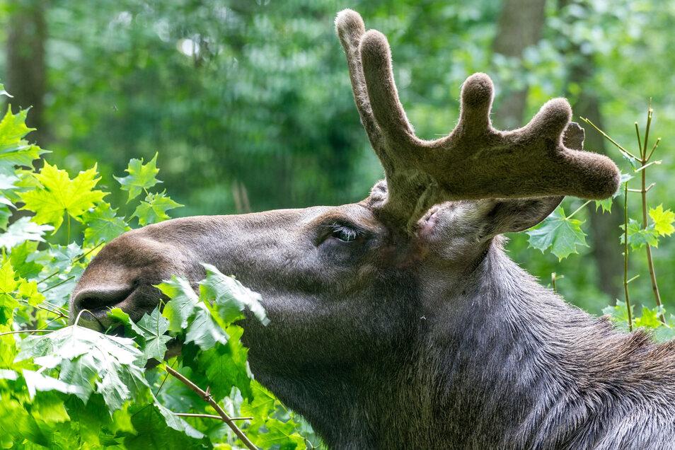 Das betagte imposante Tier sollte im Wildgehege Moritzburg eigentlich sein Gnadenbrot bekommen. Doch nun kam alles anders.