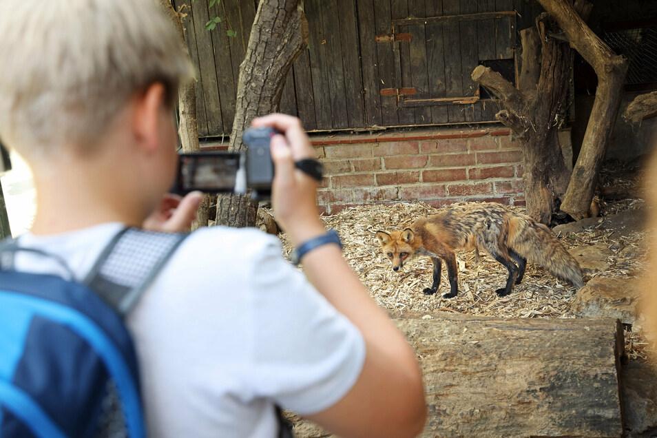 Fuchs wird Filmstar: Beim Ferienangebot des SAEK Riesa produzieren Kinder eine Tier-Doku-Soap. Die könnte am Ende auch im Tierpark laufen.