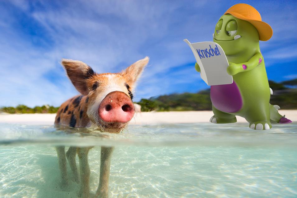 Die Schweinchen haben die Insel im Atlantik ganz für sich allein und fühlen sich sauwohl.