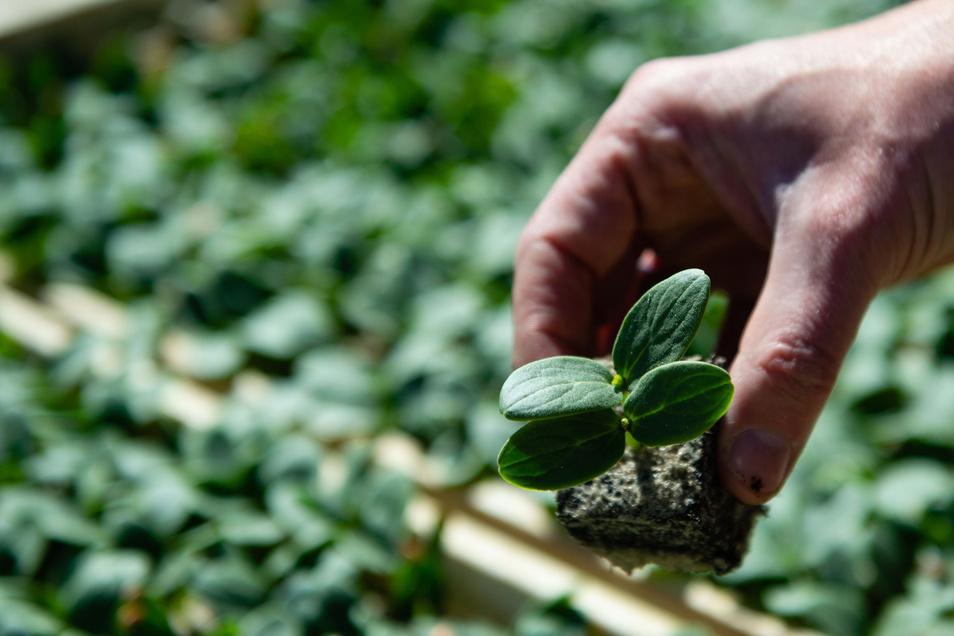 Eine junge Gurkenpflanze vor dem Aussetzen.