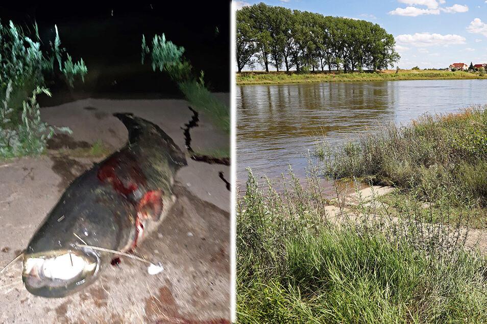 Am Elbufer in Riesa-Gröba zog ein Angler Mitte Juni einen kapitalen Wels an Land. Nicht jedem gefiel diese Nachricht. Ein Verstoß gegen die Regeln war der Fang aber nicht, so der Anglerverband.