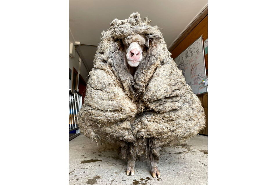 Das wilde Schaf Baarack trägt eine Last von mehr als 35 Kilo Wolle. Das Tier wurde im australischen Bundesstaat Victoria gefunden und gerettet.
