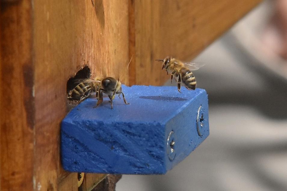 Landung auf dem kleinen Brett vor der Beute. Auch jetzt finden die Bienen Nahrung.