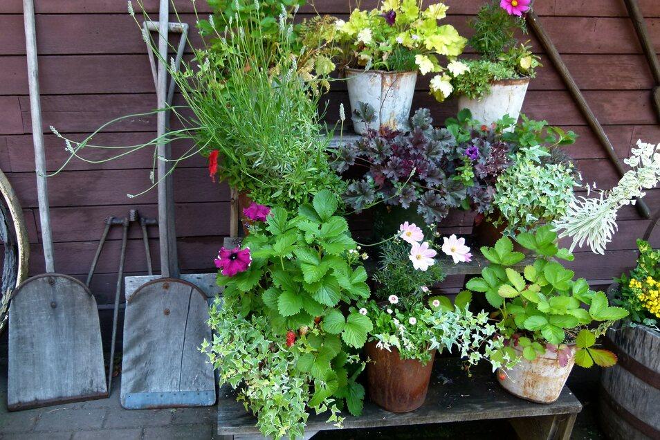 Neu eingetopfte Pflanzen sollten nach vier bis sechs Wochen gedüngt werden.