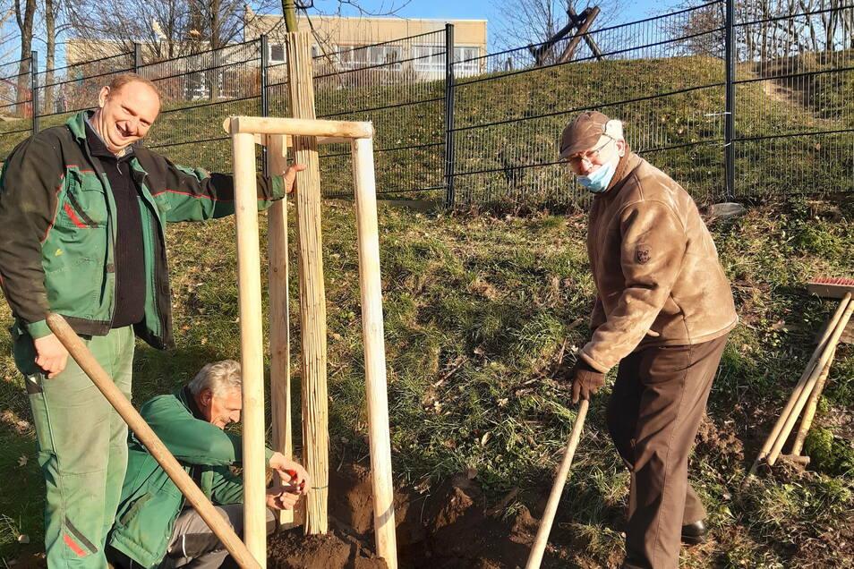 Jubilar Manfred Rimbach (rechts) aus Görlitz-Königshufen pflanzt zusammen mit zwei Mitarbeitern einer Baumfirma eine Blutbuche im Kidrontal.