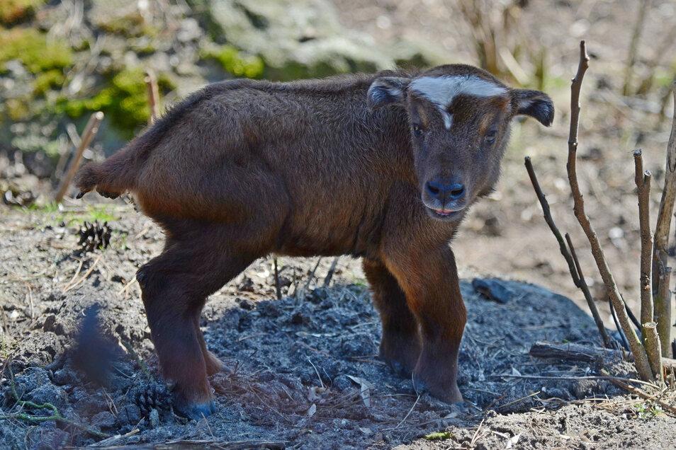 Erstmals haben die Mishmi-Takins im Zoo Decín Nachwuchs.