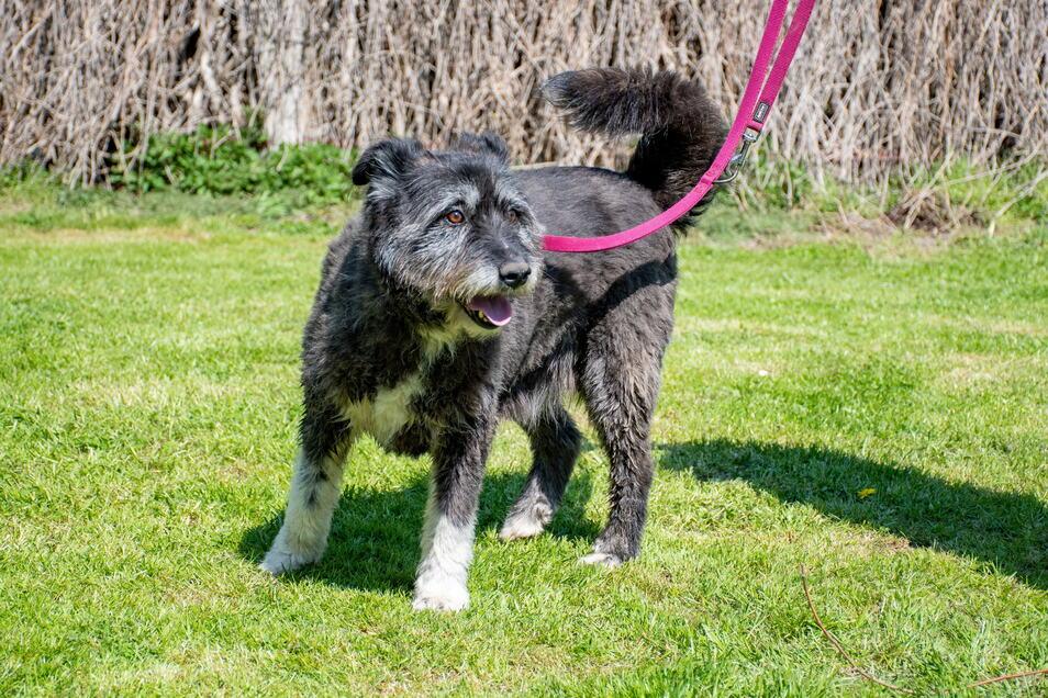 """Mischlingshündin Struppi (9): Struppi ist ein richtiger """"Allrounder""""-Hund, meint die Tierheimleiterin. """"Er badet gern und ist auch sehr umgänglich."""" Ähnlich wie alle vier Hunde kommt auch Struppi aus Smeura in Rumänien. Dort wurde er von der Schutzorganisation """"Tierhilfe Hoffnung"""" aufgesammelt und aufgepäppelt, erklärt Marlies Przybilla. Gechipt, kastriert und geimpft wurde er dann an das Ostrauer Tierheim übergeben."""