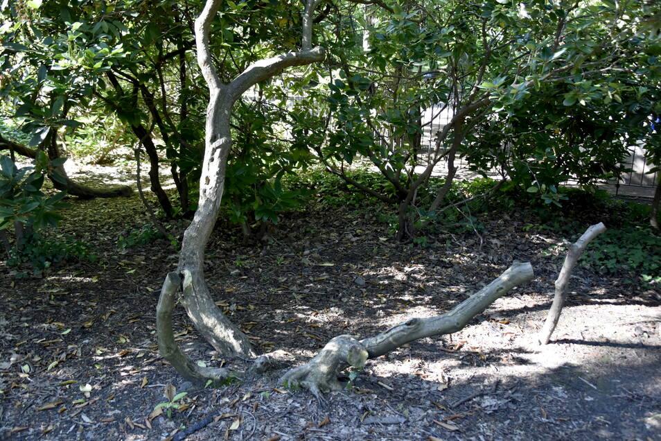 Kahle Stämme, abgebrochene Äste: Dem alten Rhododendron im Hermann-Seidel-Park setzt die Kletterei sichtbar zu. Er soll besser geschützt werden und dadurch erhalten bleiben.
