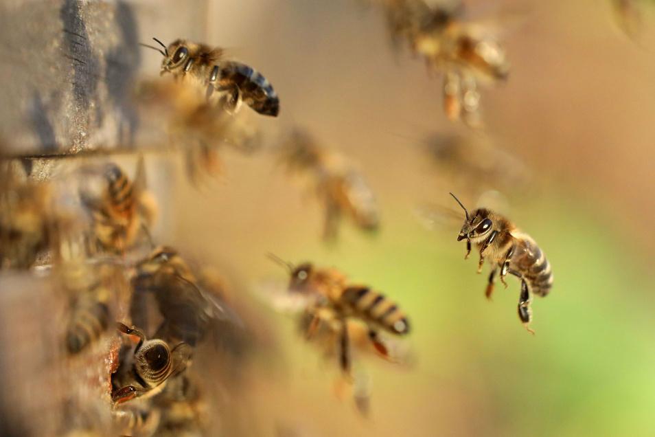 Bienen fliegen. Im Dippser Ortsteil Reinholdshain gelten für Imker jetzt Einschränkungen wegen der Amerikanischen Faulbrut.