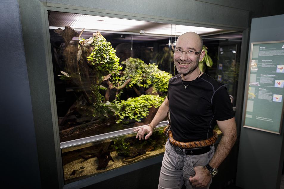 Gürtel oder Schlange? Schlange! Aber die Regenbogenboa schmiegt sich eben gern mal um den Bauch von Biologe Thomas Lübcke, der im Görlitzer Senckenbergmuseum das Vivarium leitet. Hinter der Scheibe wohnen die beiden Königspythons.