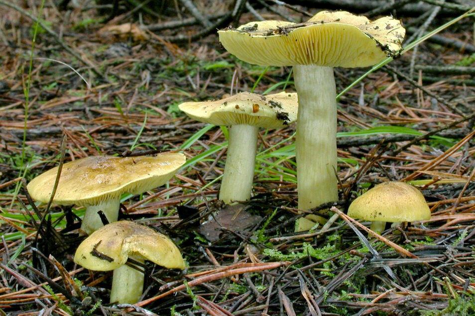 Der Grünling ist der Pilz des Jahres 2021. Dieser zählt heute zu den Giftpilzen, galt bis zur Jahrtausendwende aber als schmackhafter Speisepilz.