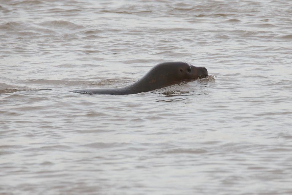 Ein Robbe schwimmt im Rhein.