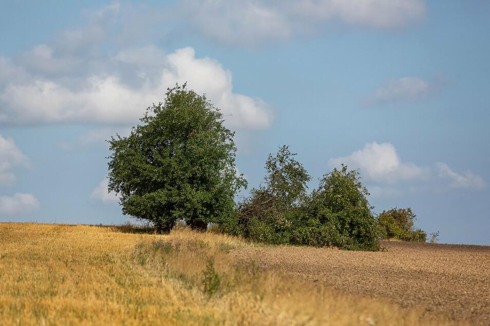 Der Wildapfelbaum auf der Kalkhöhe bei Cunnersdorf ist auseinandergebrochen.